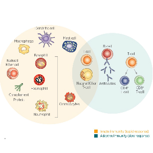 immunotherapy-in-oncology-innate-and-adaptive-immunity